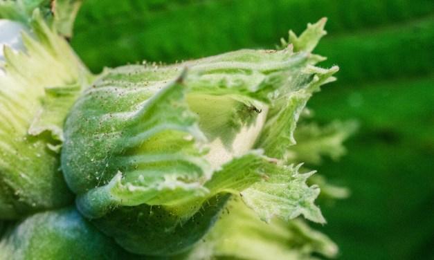 Die Haselnuss (Corylus avellana)