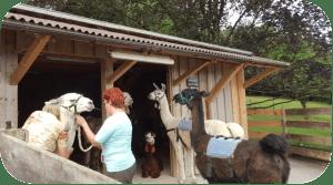 lama_stable