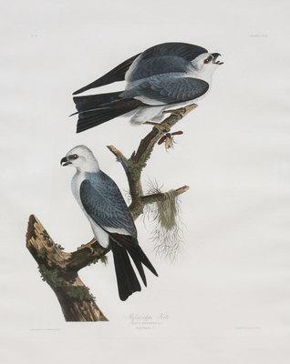 "John James Audubon,Mississippi Kite, Original Print from the First Edition of ""Birds of America"" 30"" x 24"""