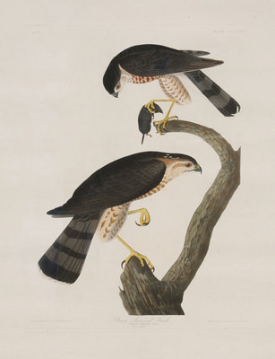 "John James Audubon, Sharp-Shinned Hawk, Original Print from the First Edition of ""Birds of America"" 23.5"" x 18.5"""
