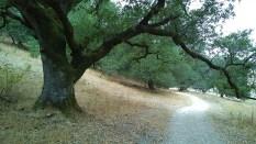 Oaks on park trail