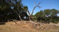 Sprawling dead tree.