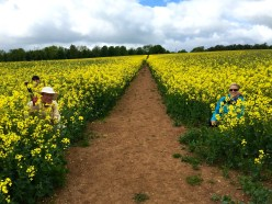 Hiding in the rapeseed