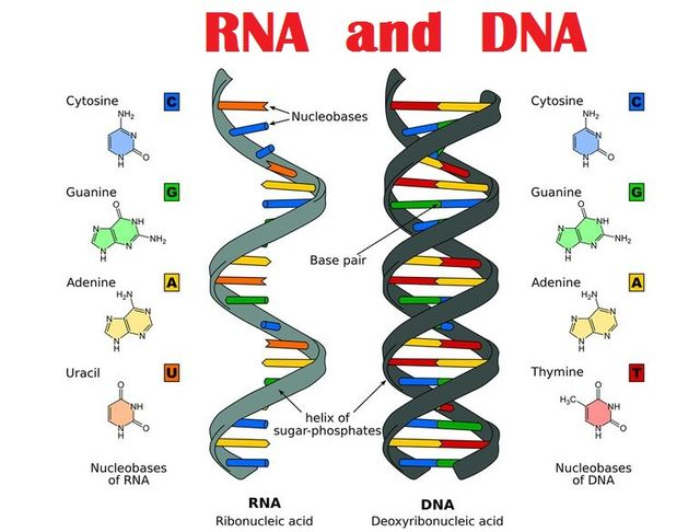 DNA and RNA Full Form and Meaning in English