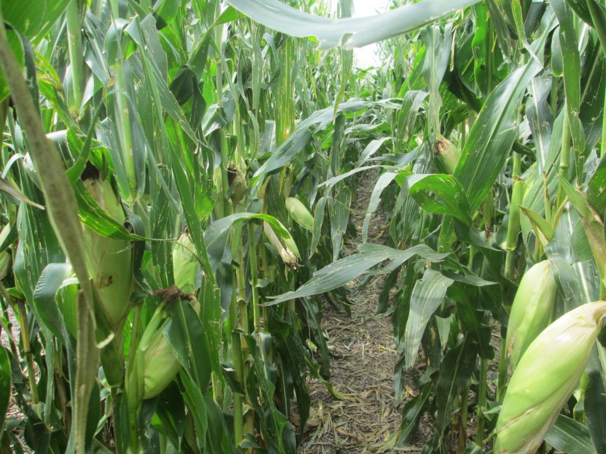 Osu Corn Farm 1