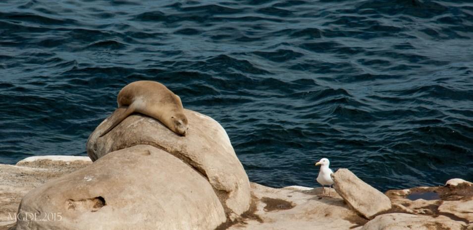 A seal taking a power nap.