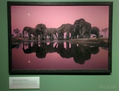 Elephants at Twilight, Botswana, 1989.