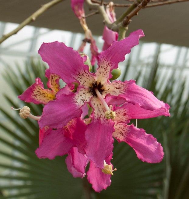 Silk Floss tree