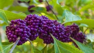 American Beautyberry (Oklahoma native)