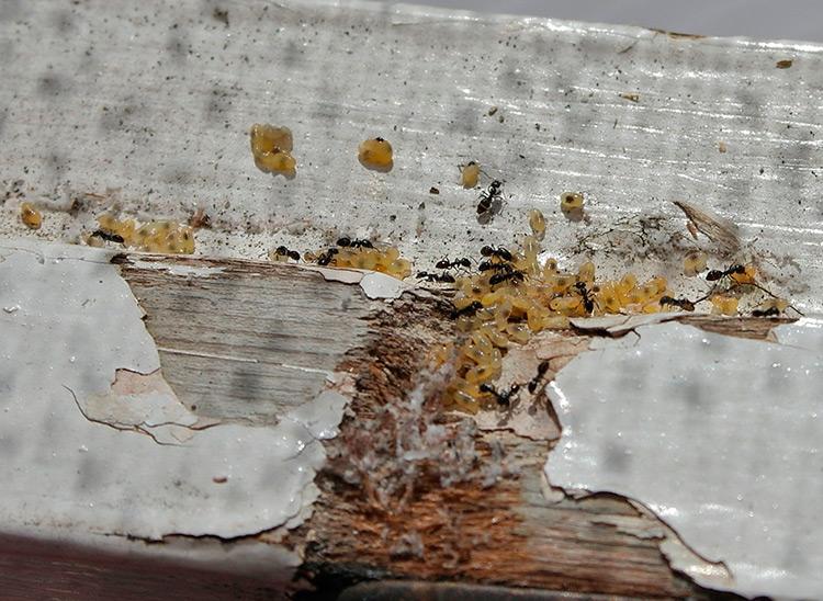 Talon muurahaisten pesä - miten päästä eroon?