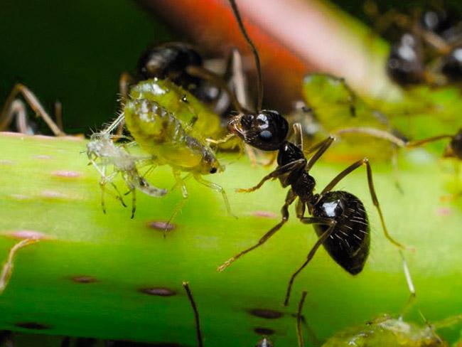 Musta puutarha muurahaiset sitovat TRU: n tontiin