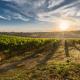 vitigni più diffusi in Puglia