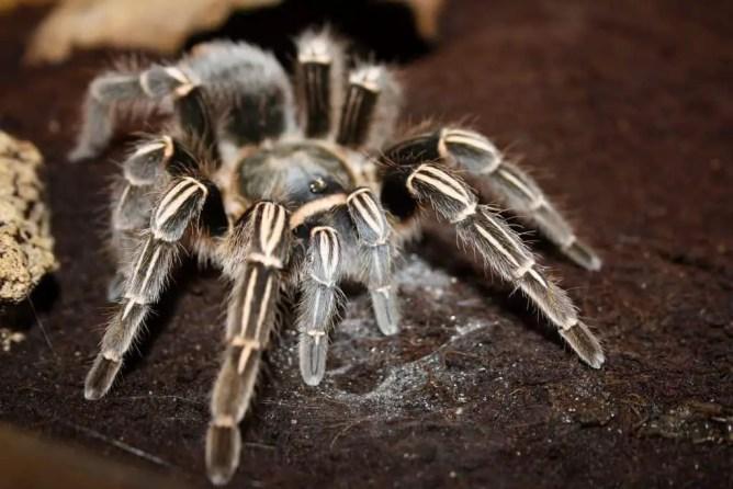 costa rican zebra tarantula