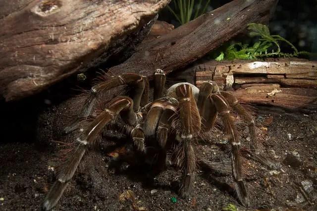 Goliath Bird Eating Tarantula (Theraphosa blondi ...