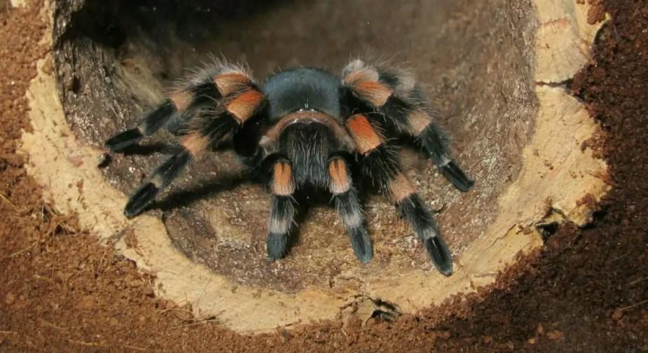 tarantula hiding
