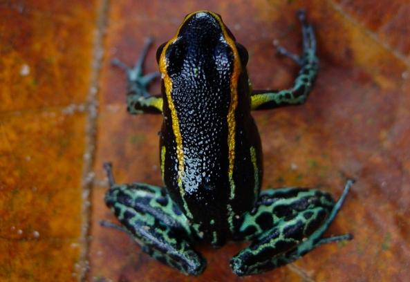 tarapoto-frog-Hyloxalus-azureiventris