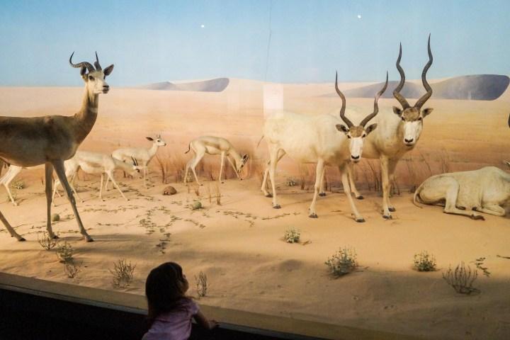 Antelope Dioramas at The Academy of Natural Sciences.