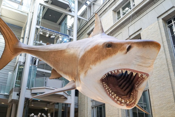 52 foot long model of a Mega-Toothed Shark hanging from the ceiling at the Smithsonian National Museum of Natural History