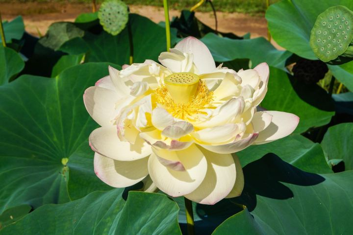 White/yellow Lotus flower at the Kenilworth Park and Aquatic Gardens