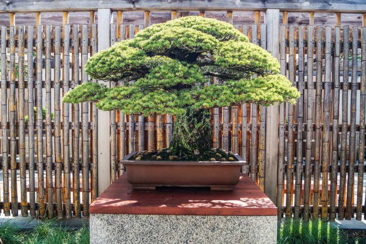 1625 Japanese White Pine that survived the blast of Hiroshima on a pedestal.