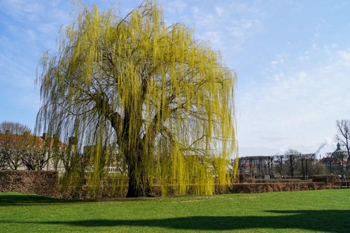 Large tree outside Rosenborg