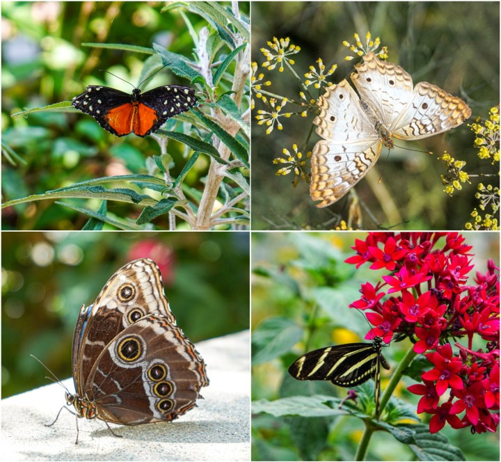 Four photo collage of butterflies in the Butterfly Pavilion.