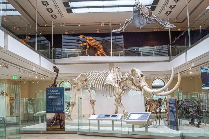 Age of Mammals Exhibit with skeleton of Mastodon.