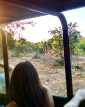 Baby male giraffe on right of safari truck