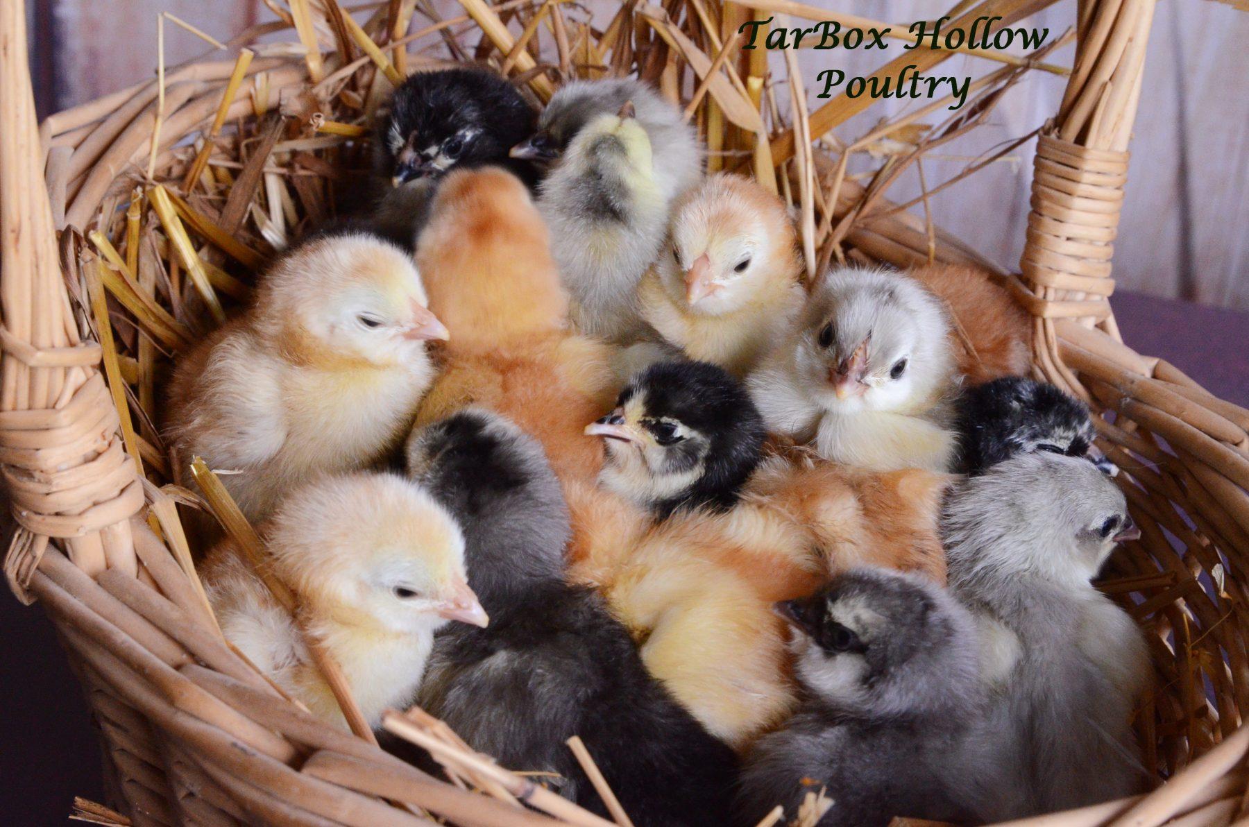 Buying Chicks
