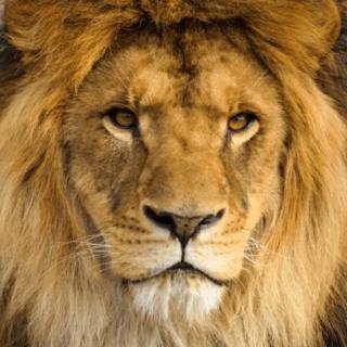 lion_face
