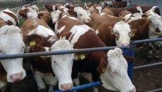 Tarım Kredi Kurban Vadeli Yem Kampanyası Başlattı