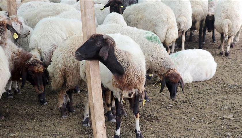 Van'da Hayvancılık 100 Bin Lira Faizsiz Kredi Desteğiyle Canlandırılacak