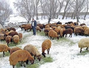 750 Bin Koyun Projesi Meyvelerini Vermeye Başladı
