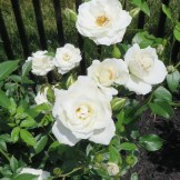 White Owl rose is a great bloomer and does not need dead-heading. Japaneese beetles love this guy.