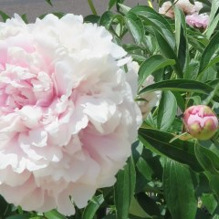 Peonies - these guys love the heat and sun near teh mailbox.