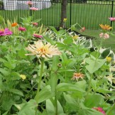 This is a mixed bed of zinnias I use to make weekly bouquets for Luthien.