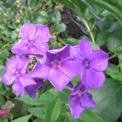 One of my all time favorites - Phlox come back every year and are super easy to care for