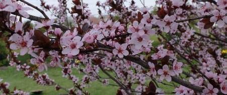 Black-cherry Blossoms