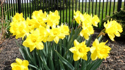 Whole Bunch of Daffodil