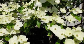 Dogwood is great until it gets the blight.