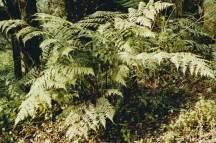 Allantodia australis - Austral Lady-fern