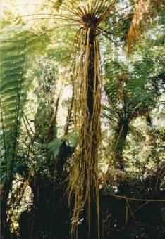 Cyathea marcescens - Skirted Tree-fern