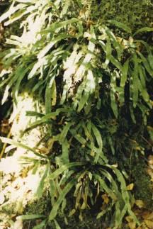 Grammitis billardieri -Common Finger-fern