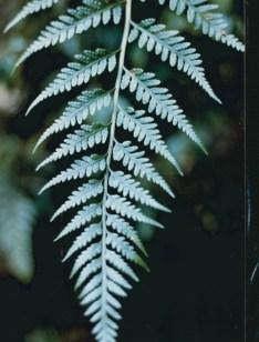 Rumohra adiantiformis - Leathery Shield-fern