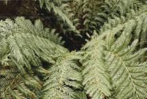 Todea barbara - Austral King-fern
