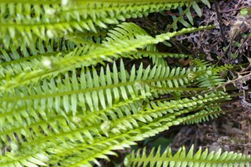 Blechnum nudum - Fishbone water-fern, The pinnae (leaflets) become gradually shorter towards the tip and the base.