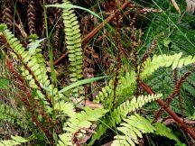 Blechnum fluviatile - Ray water-fern