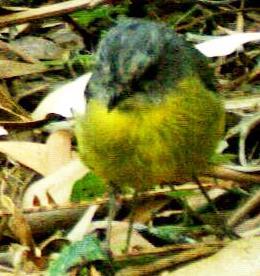 Eastern Yellow-robin