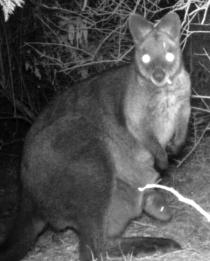 Wallaby with Passenger