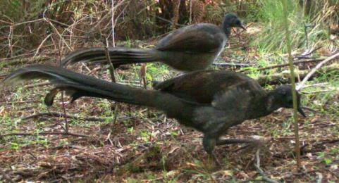 Pair of Lyrebirds